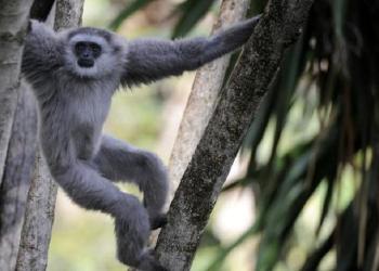 Ilustrasi Owa Jawa (Foto: Liputan6.com)