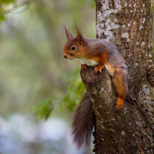european squirrel_jorund Myhre