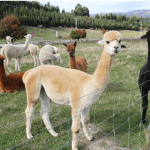 Alpaca wool: Types, properties and clothes