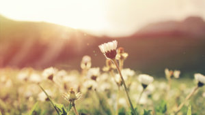FlowerFieldWeb