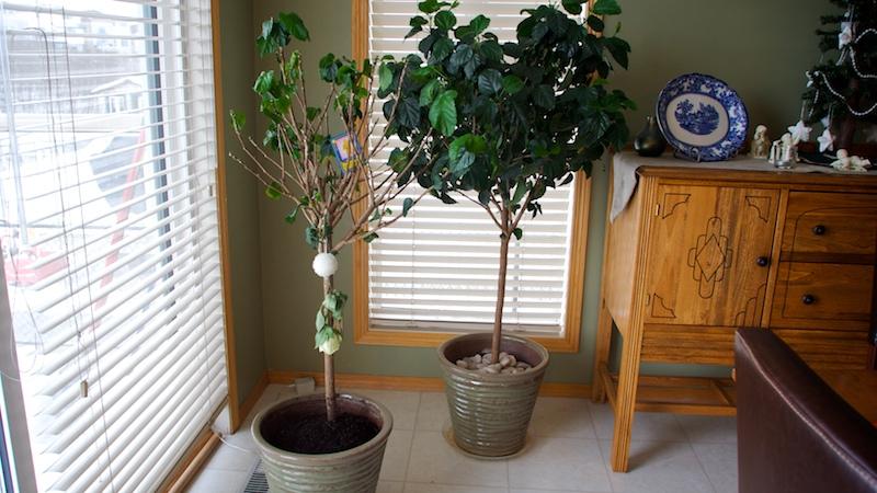 2008-12-27-georges-hibiscus