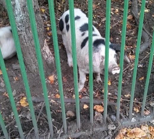 a locavore pig