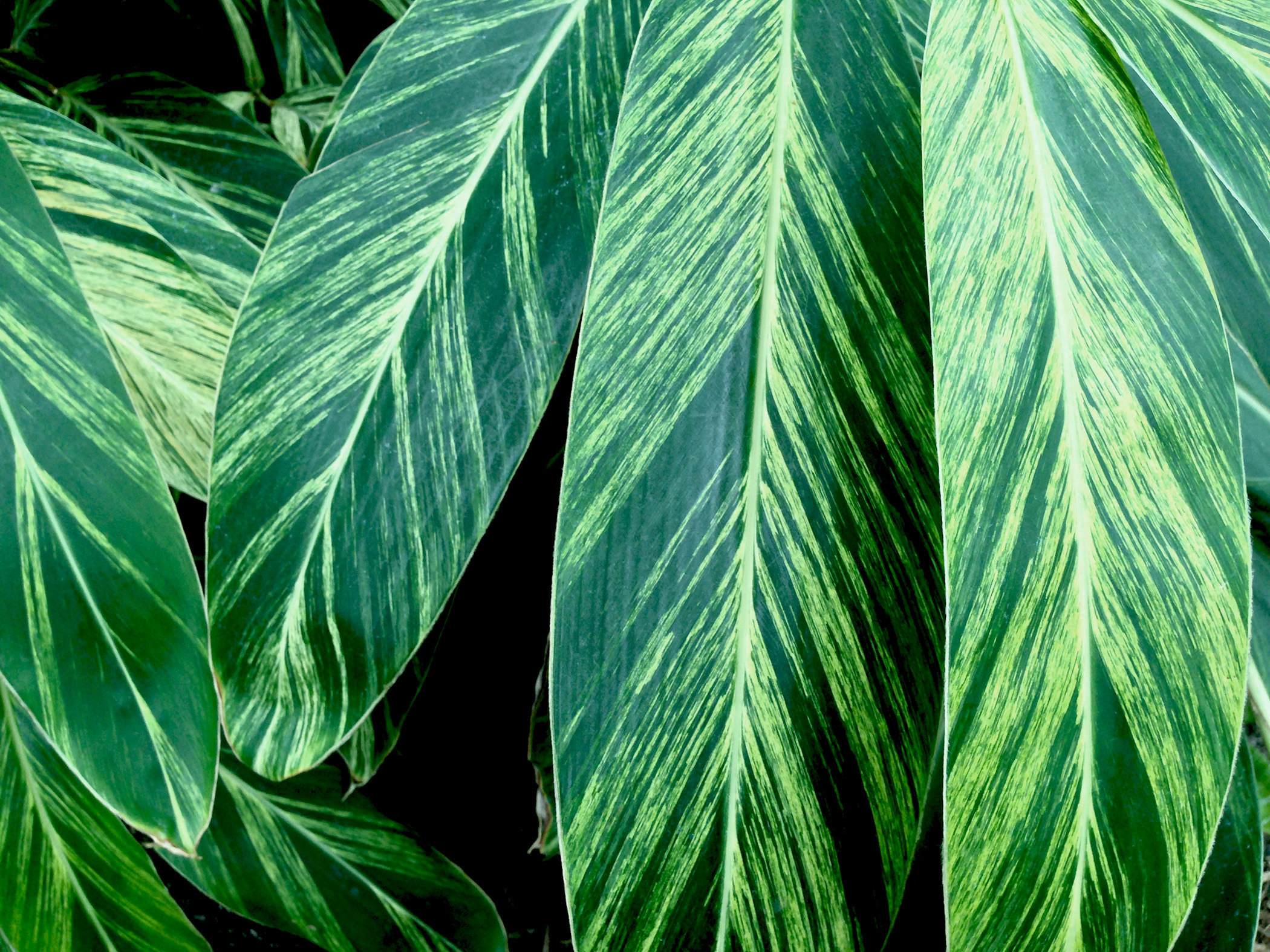 Ginger leaves / Darker than Green