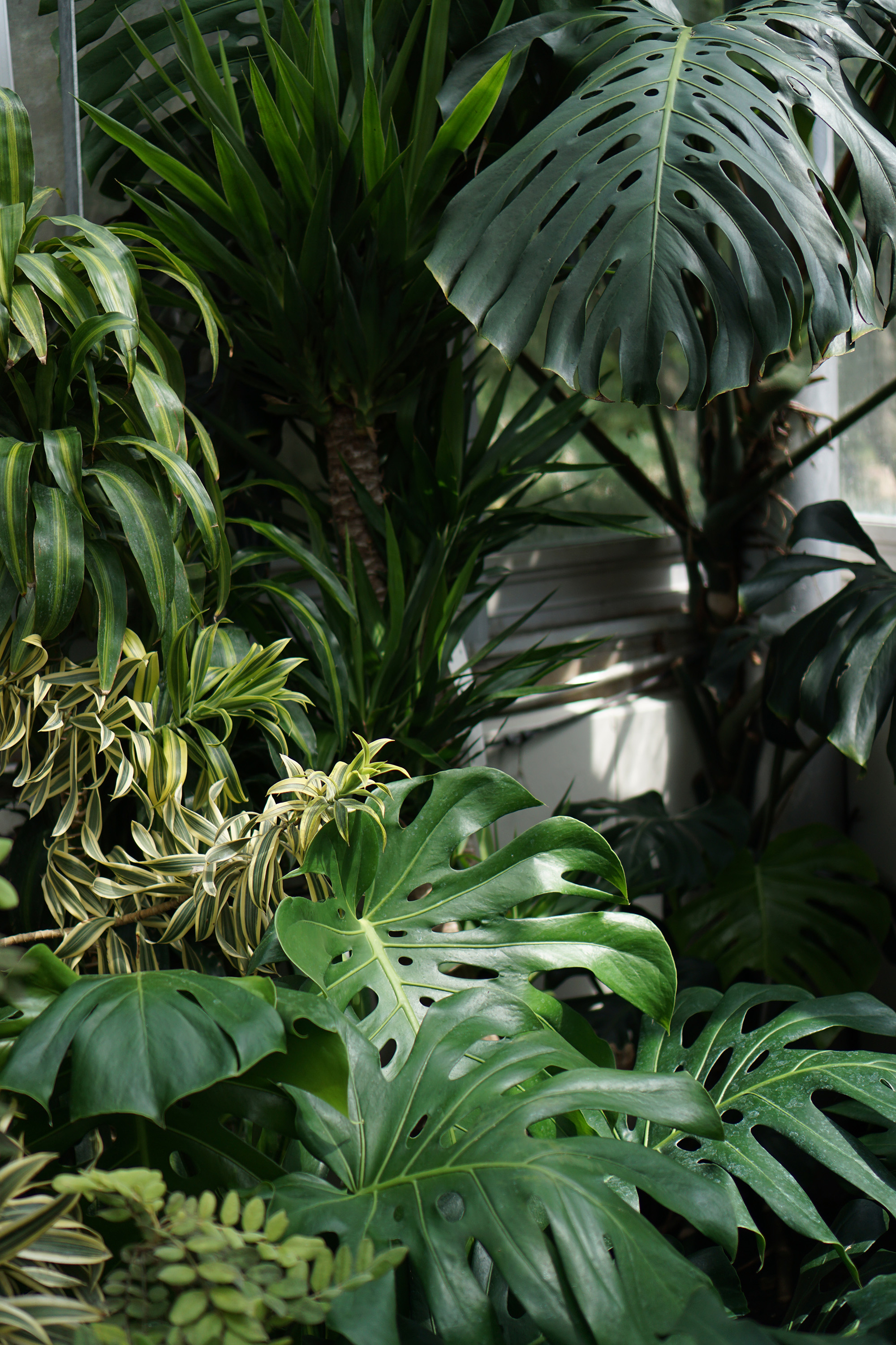 Monstera deliciosa in the Tropical house, Chicago Botanic Garden / Darker than Green