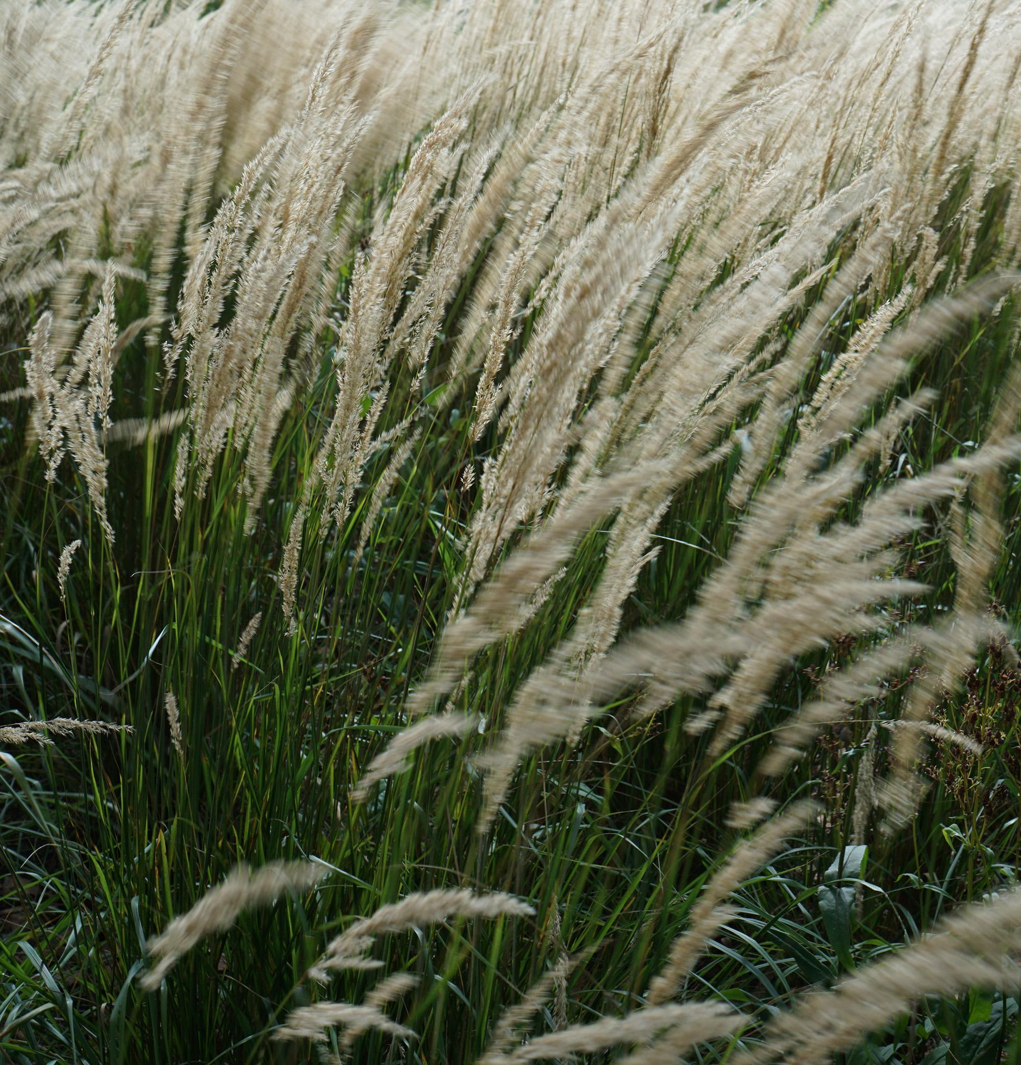 Grasses at the Chicago Botanic Garden / Darker than Green