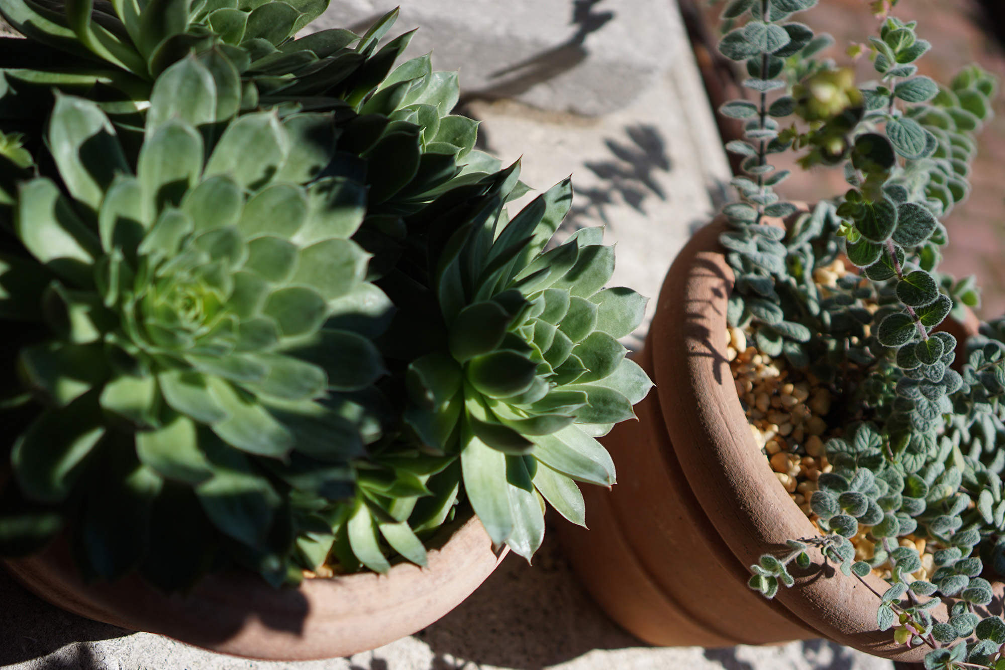 Succulents at the Cloisters, New York City / Darker than Green