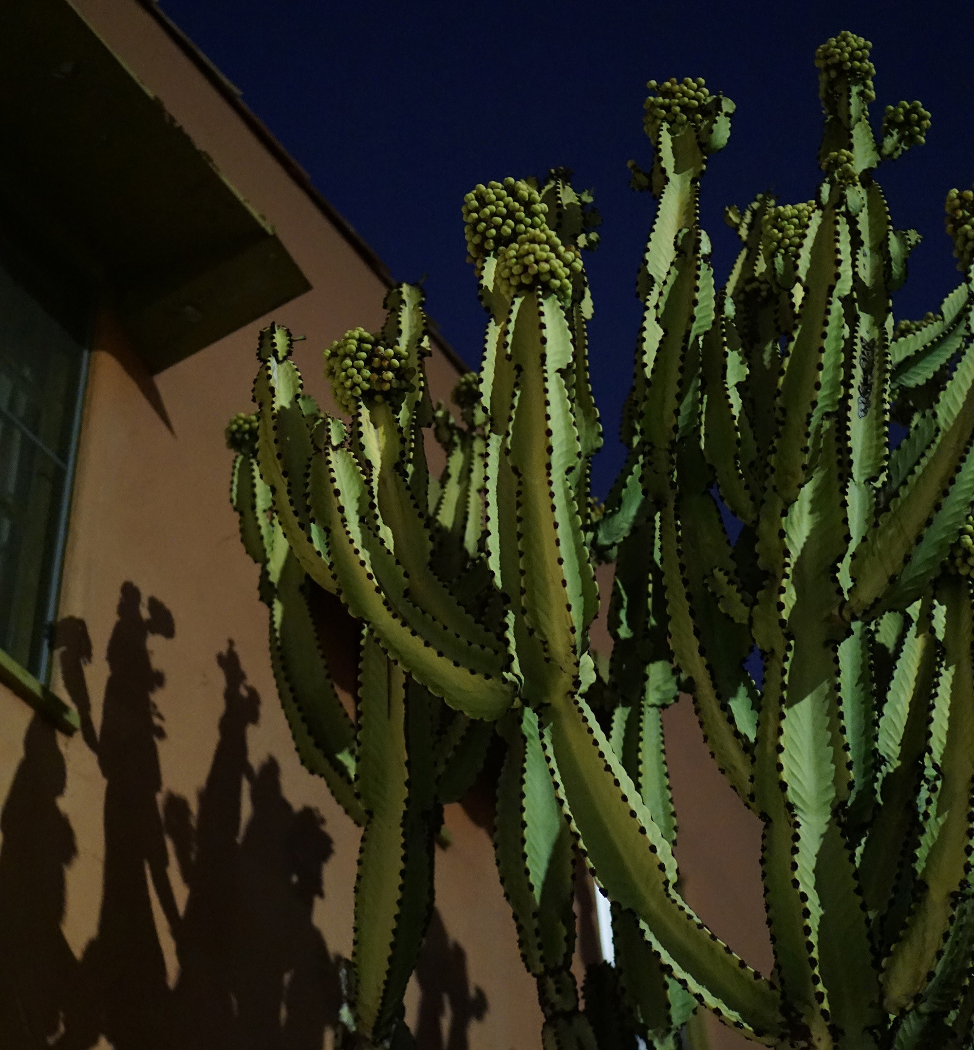 Big cactus on Hayworth Ave, Los Angeles / Darker than Green