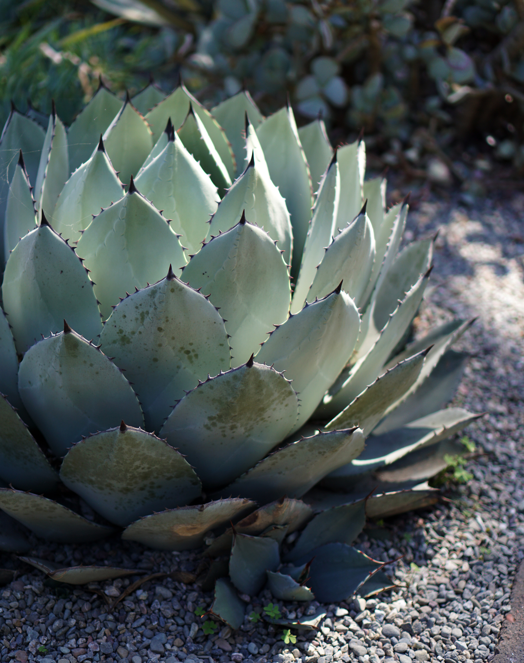 Agave at the Gardens at Lake Merritt, Oakland California / Darker than Green