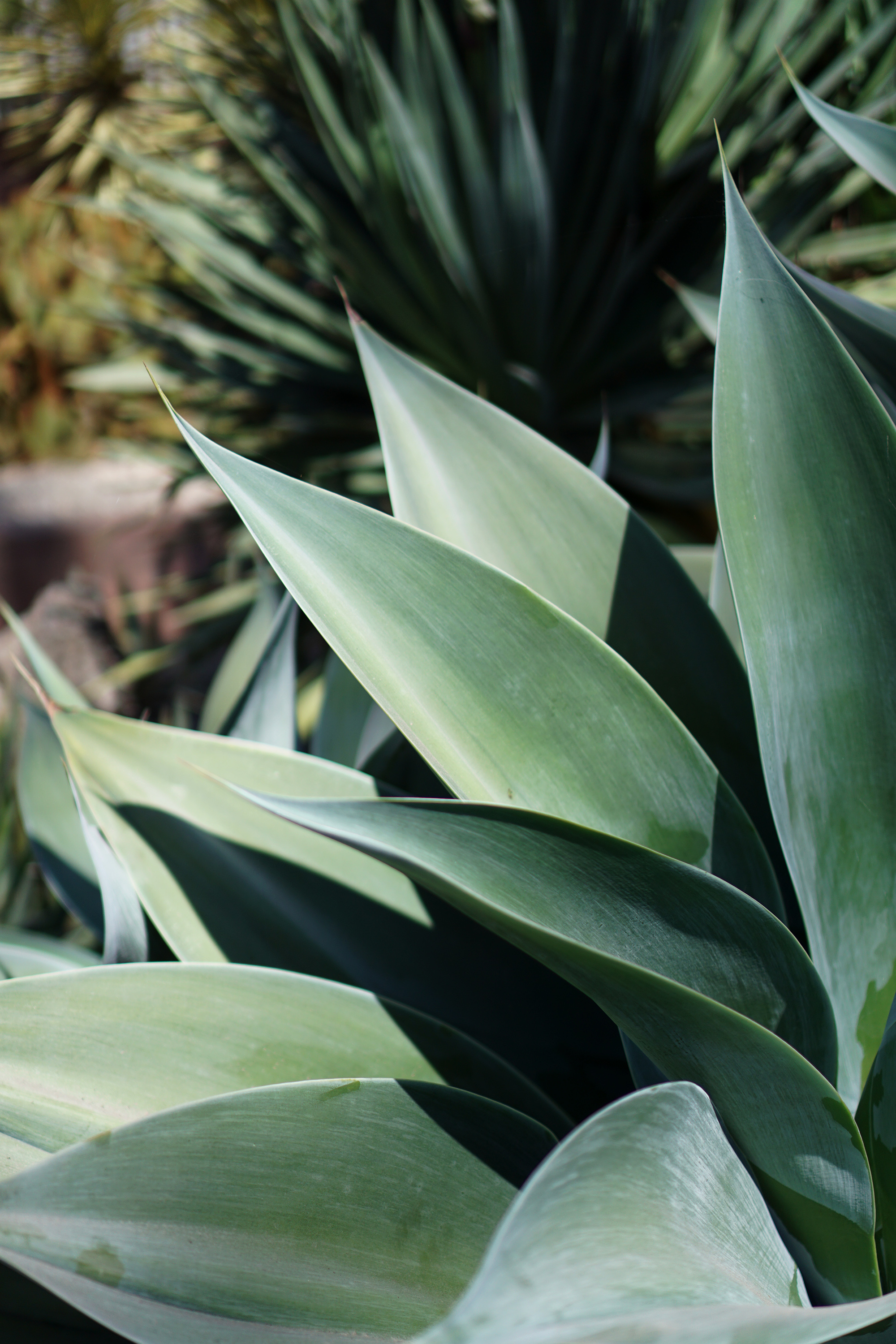 Agave leaves at the Gardens at Lake Merritt, Oakland California / Darker than Green