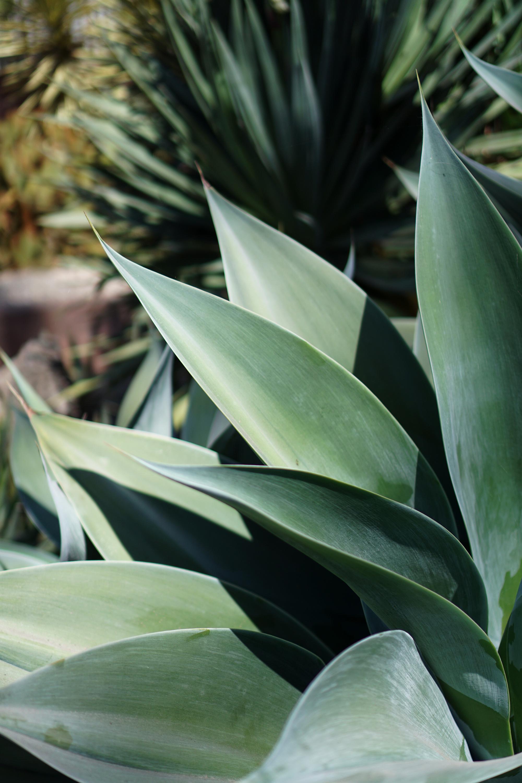 Agave leaves at the Gardens at Lake Merritt, Oakland California / Darker than Green