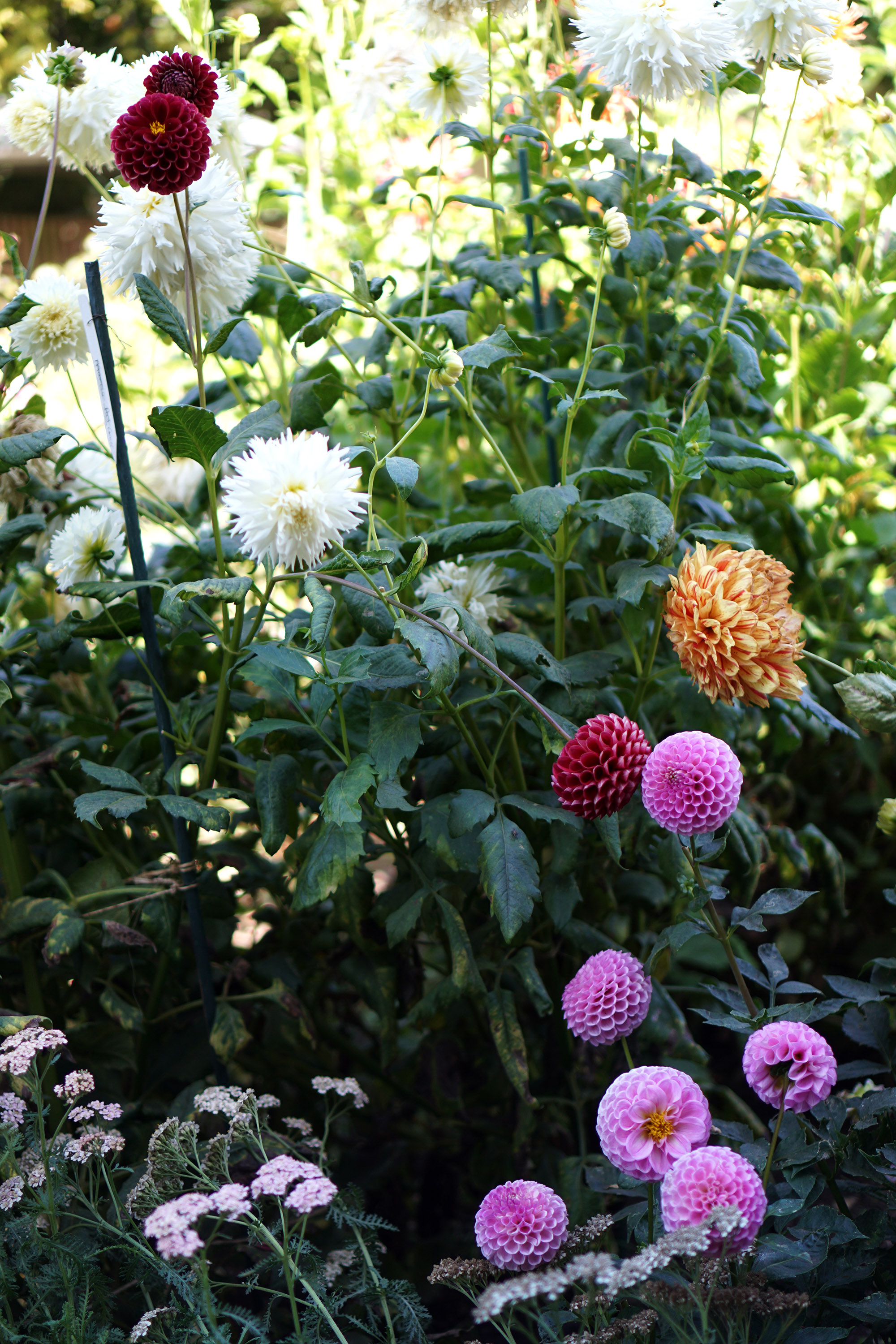 Dahlias in the Gardens at Lake Merritt, Oakland California / Darker than Green