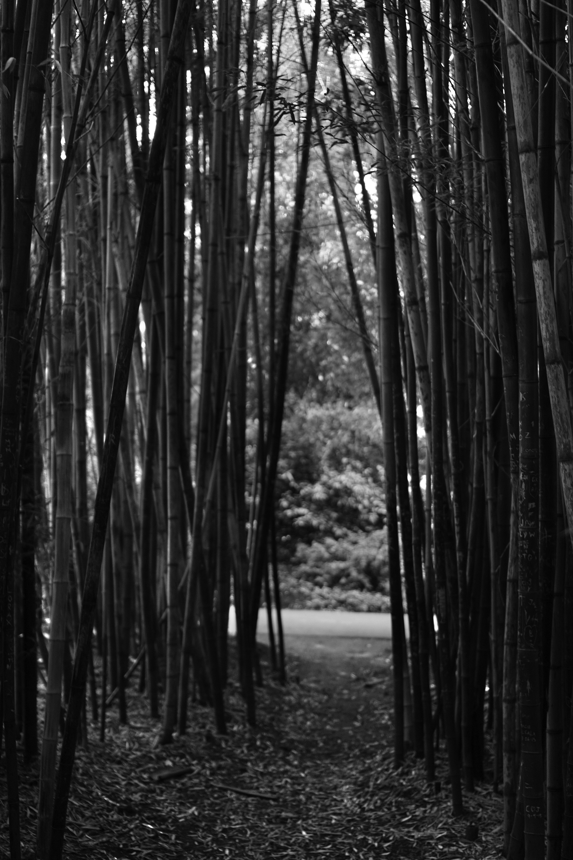 View through the bamboo, San Francisco Botanical Garden / Darker than Green