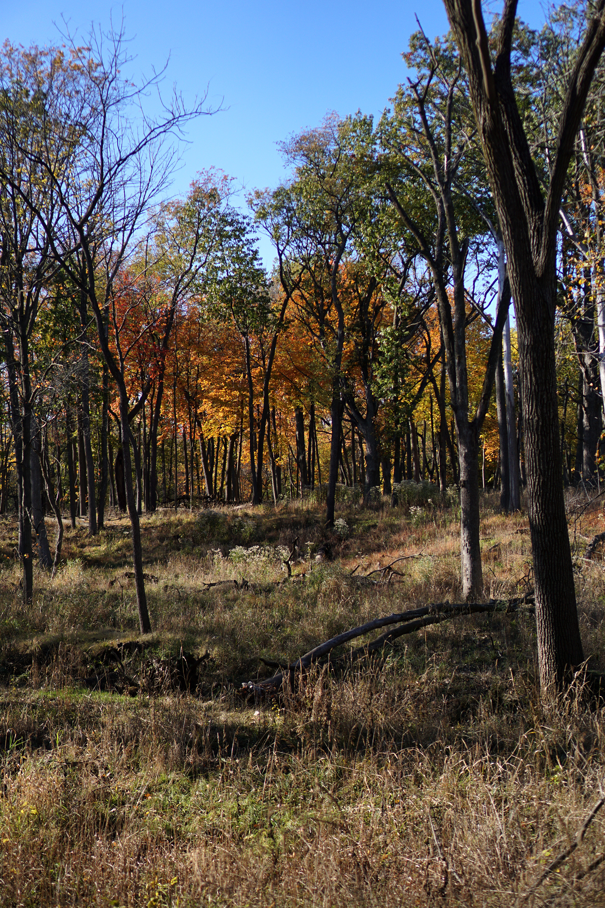 A warm-colored fall vista in Miami Woods, Morton Grove Illinois / Darker than Green