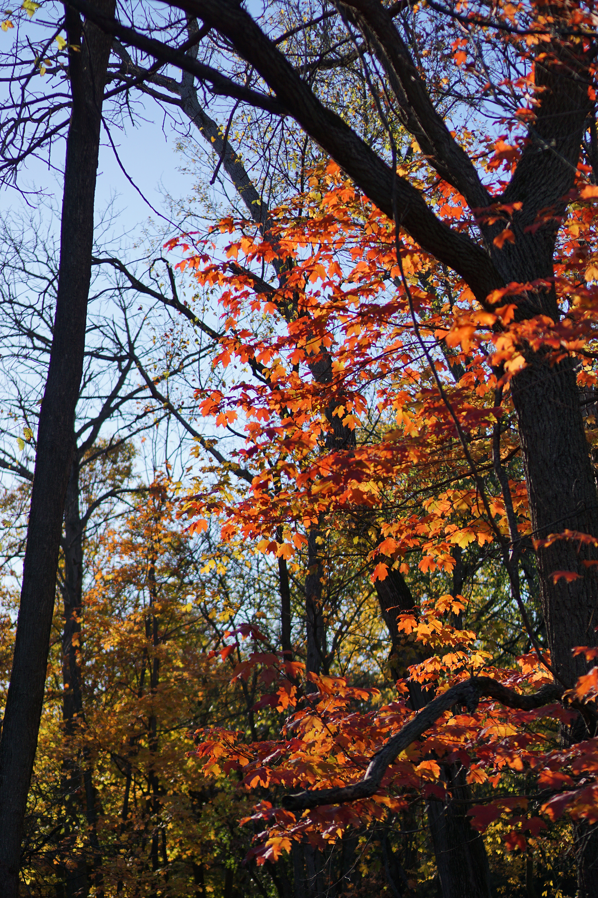 Fall foliage in Miami Woods, Morton Grove Illinois / Darker than Green