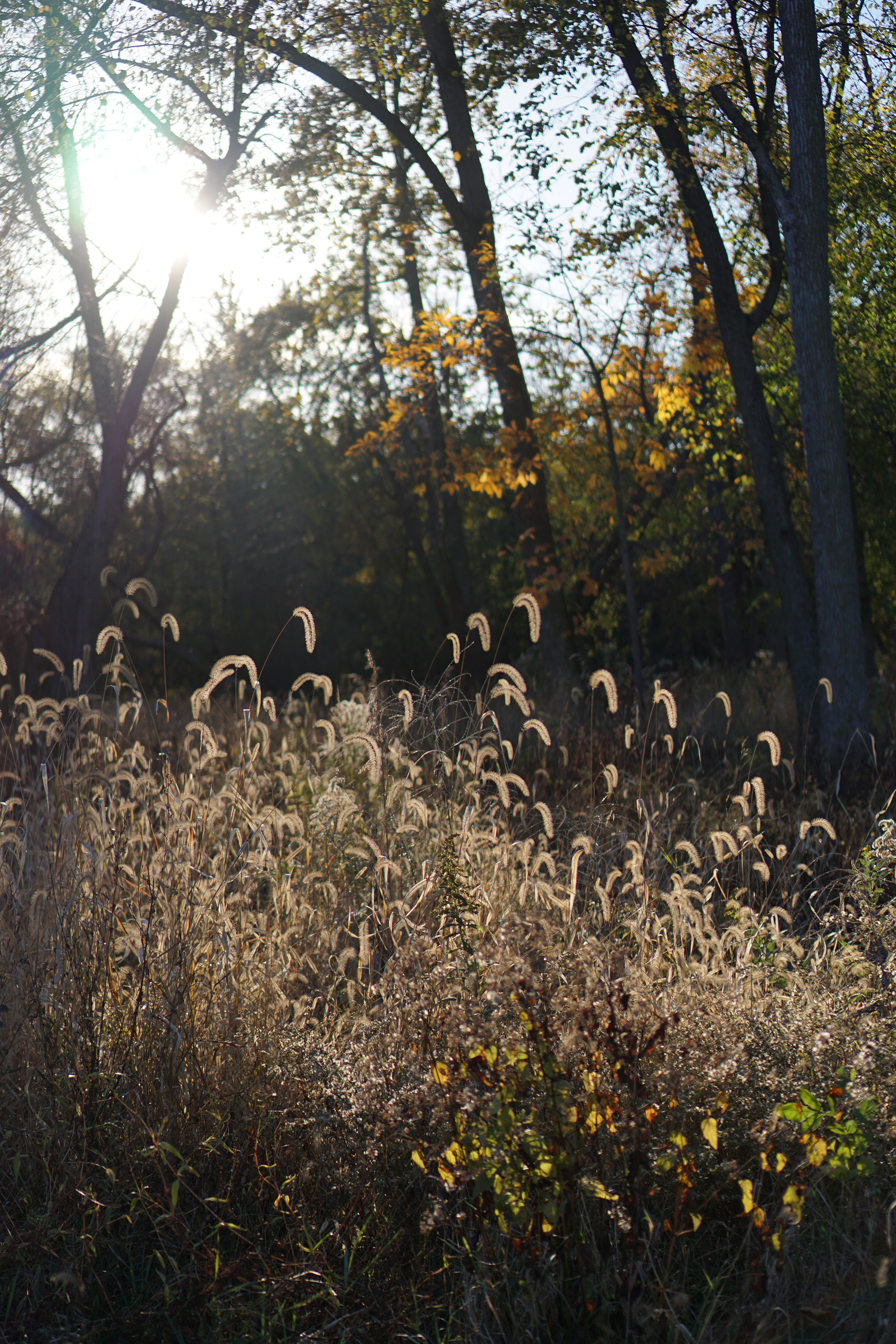 Feathery autumn grasses in the late afternoon light, Miami Woods, Morton Grove Illinois / Darker than Green
