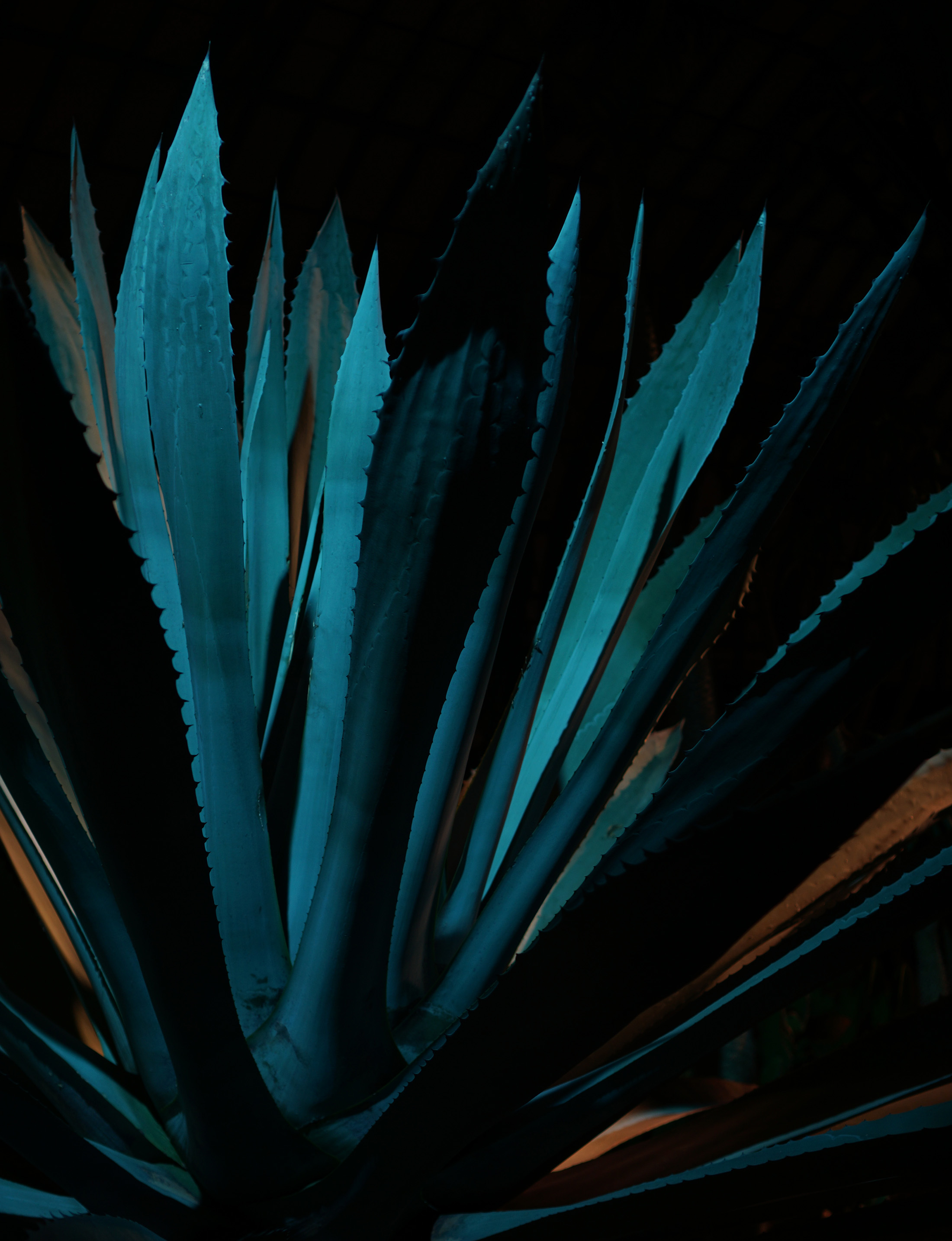 Giant agave plant lit up at night, Garfield Park Conservatory, Chicago IL / Darker than Green