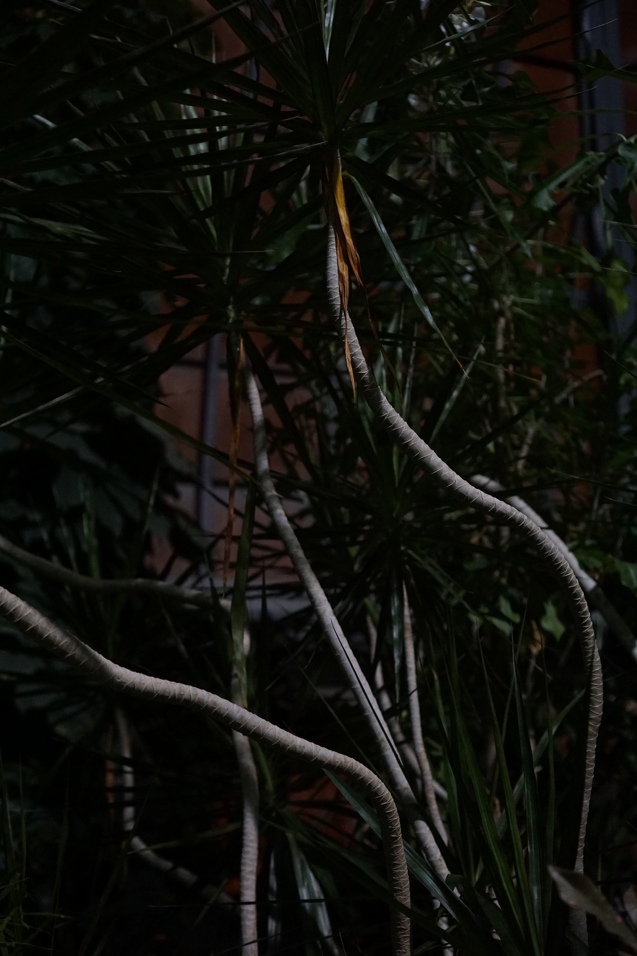 Dracaena branches, Garfield Park Conservatory at night, Chicago / Darker than Green