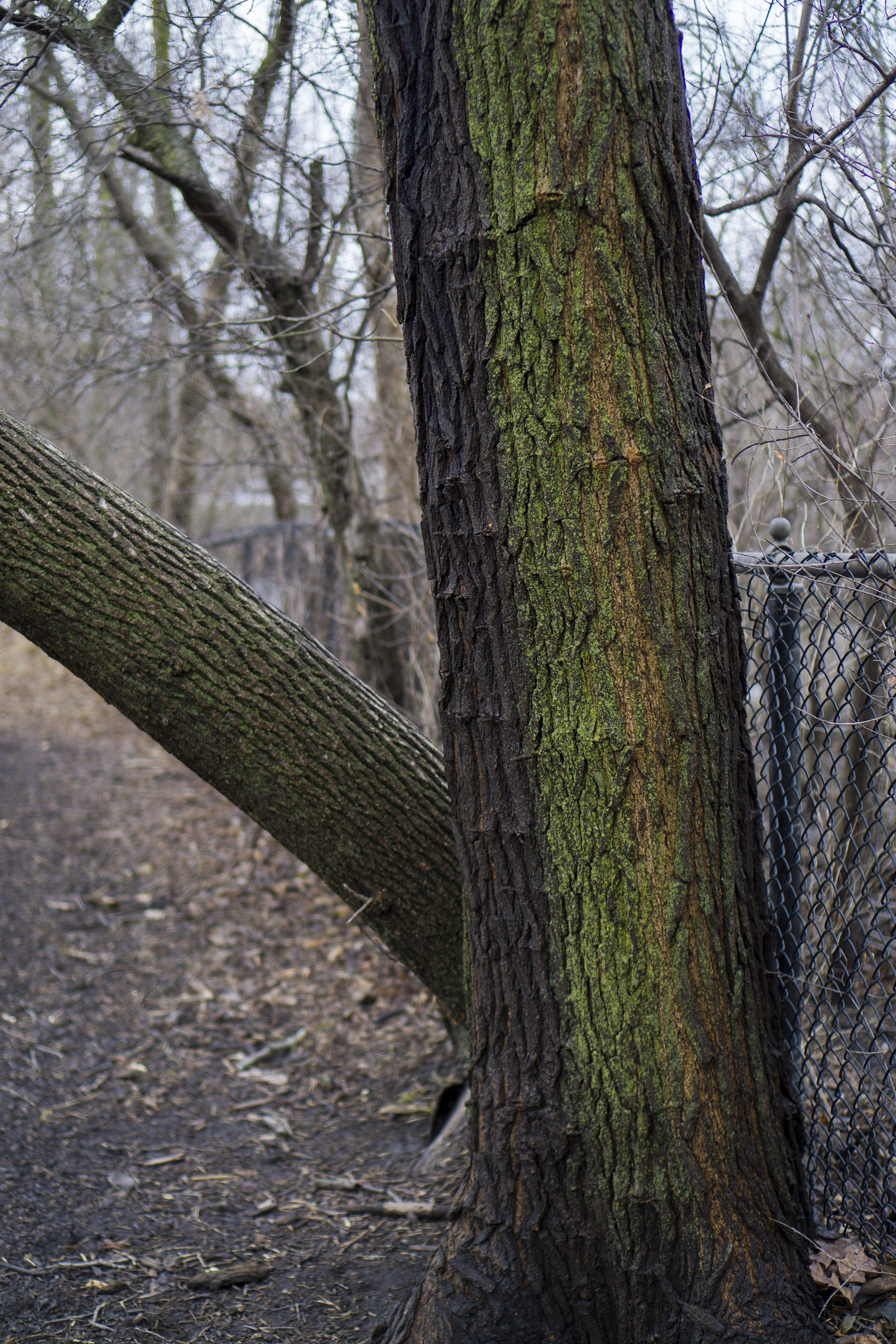 Mossy tree trunks against a fence in Gompers Park, Chicago IL / Darker than Green