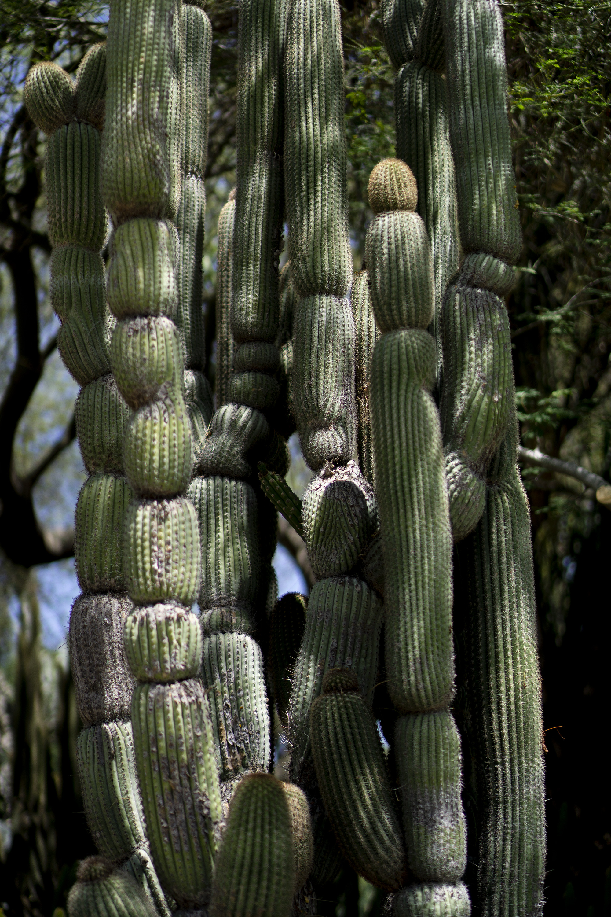 Tall, smooth cactus in dappled shade, Desert Garden, Huntington Library, San Marino CA / Darker than Green