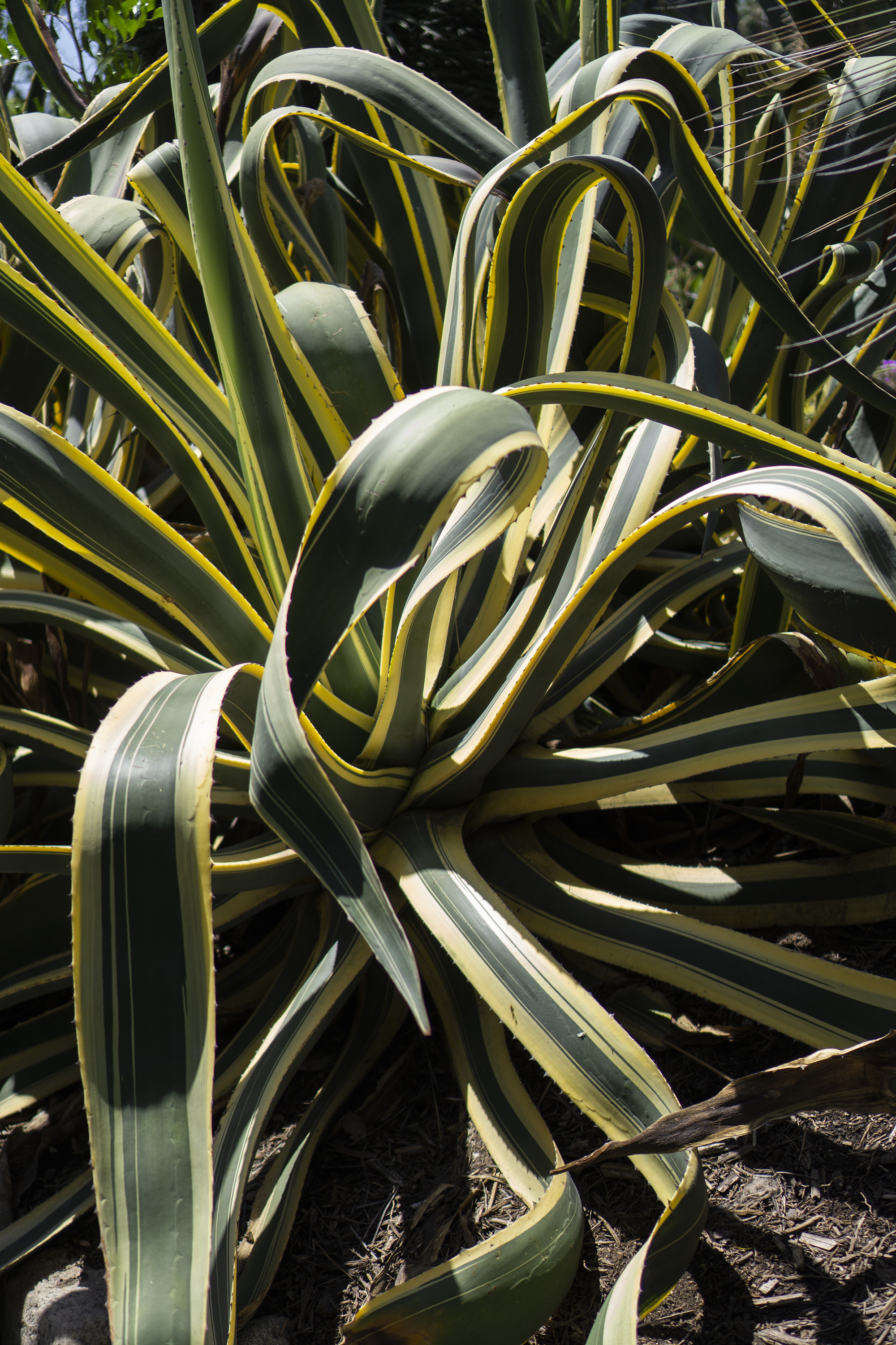 Green and yellow variegated agave leaves, Desert Garden, Huntington Library, San Marino CA / Darker than Green