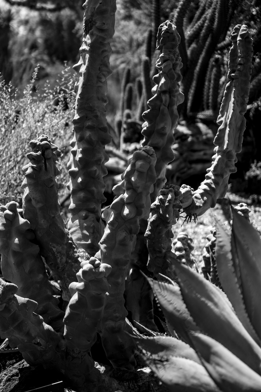 Montrose cactus, Desert Garden, Huntington Library, San Marino CA / Darker than Green