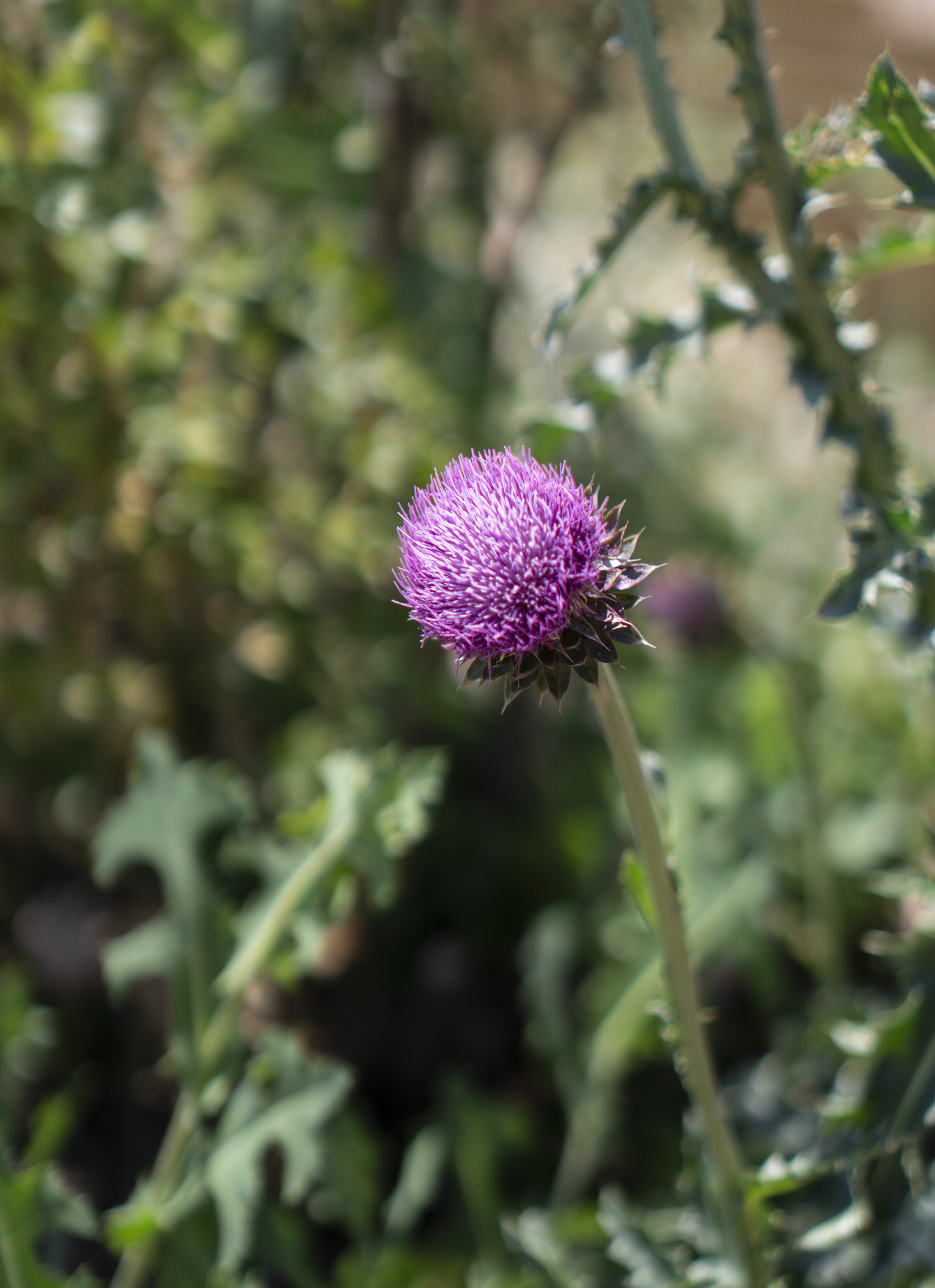 Musk thistle along Along the Horsetooth Rock Trail, Colorado / Darker than Green