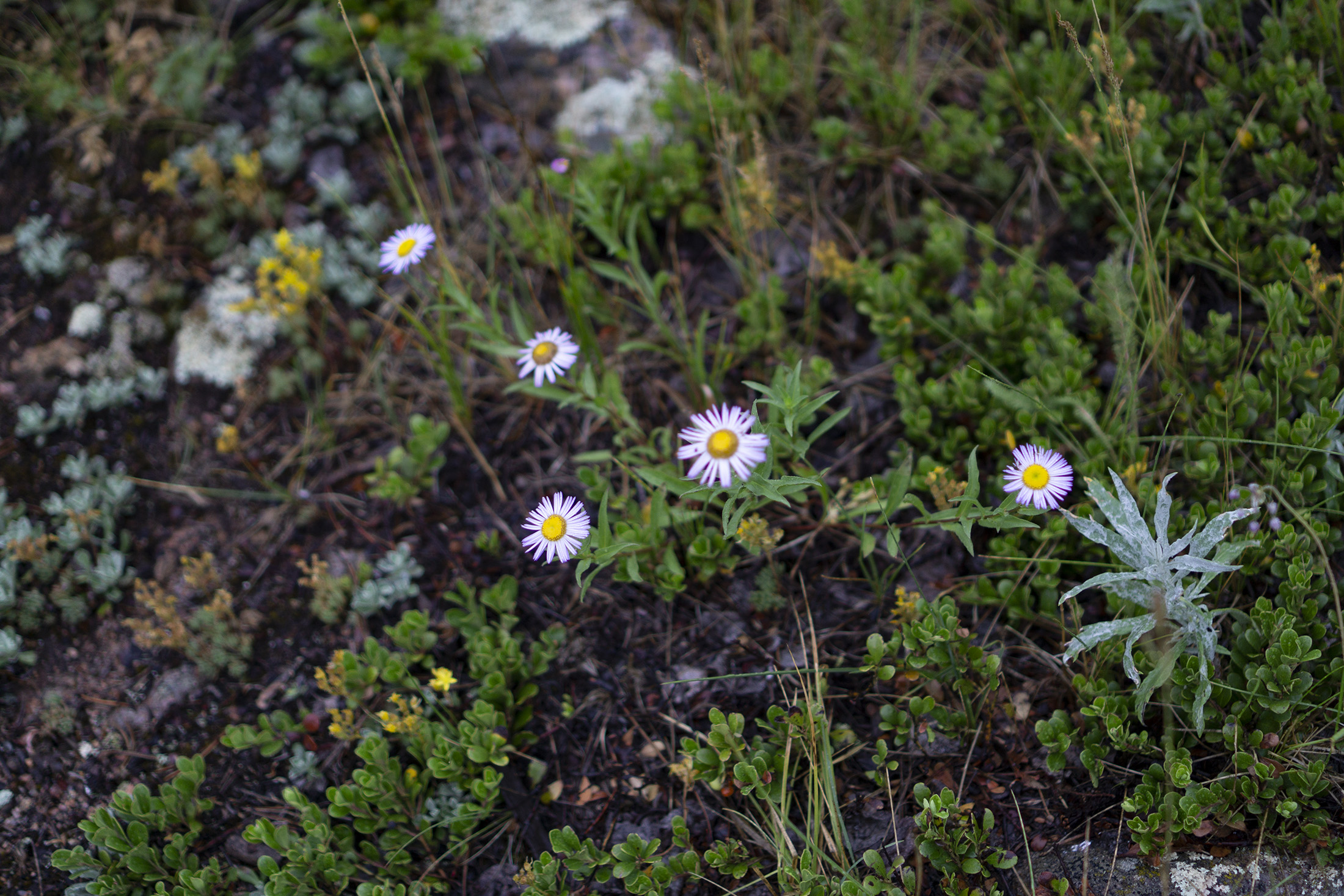 Tiny alpine asters in Meeker Park Overflow Campground, Colorado / Darker than Green