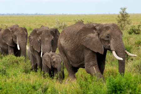 Experts warn that the African elephant could be wiped out in 20 years. Photo: Daniel Hayduk