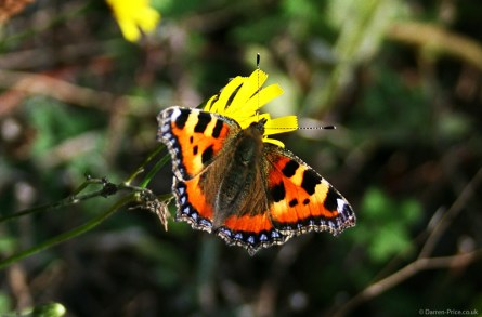 A Butterfly poses on a yellow flower