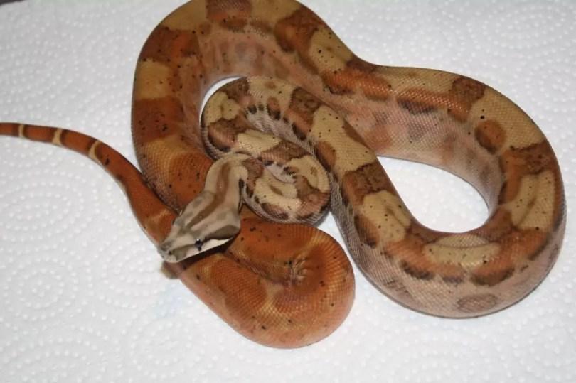 Hypo-motley Central American Boa