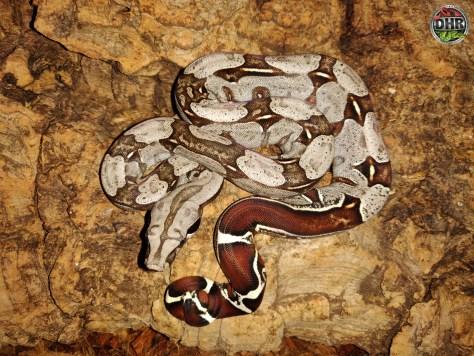 Suriname Red-tail Boas