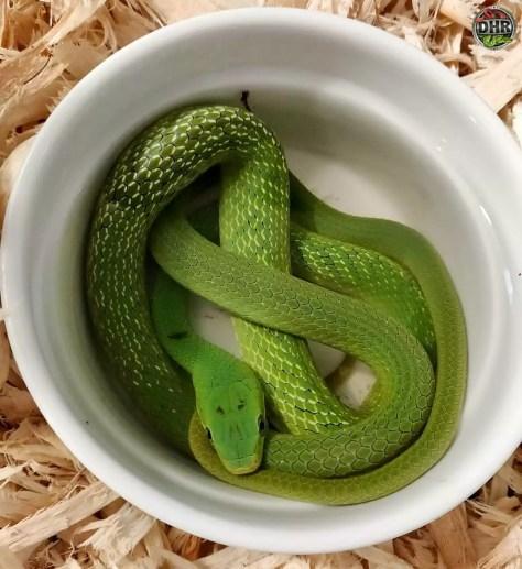 One of our Green Bush Rat Snakes (Gonyosoma prasinus)