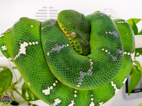 Something green today, and Emerald Tree Boa (Corallus caninus)