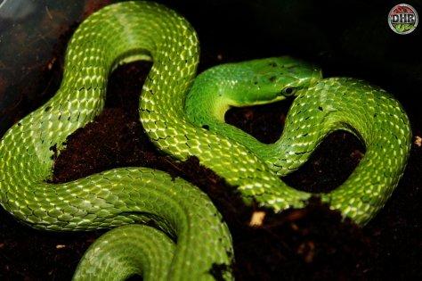 Freshly shed and looking fantastic. A Green Bush Rat Snake (Gonyosoma prasinum)