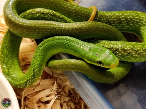 TGIF: Green Bush Rat Snake