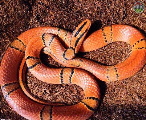 Two year old Yunnan Mountain Rat Snake (Oreocryptophis porphyraceus pulcher).