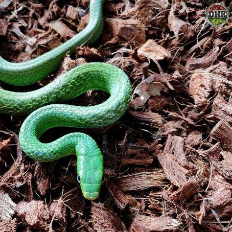 an adult green bush rat snake