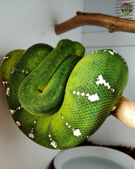 Northern Emerald Tree Boas make