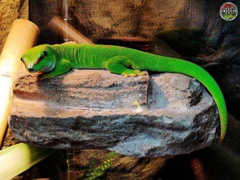A Giant Day Gecko (Phelsuma grandis)