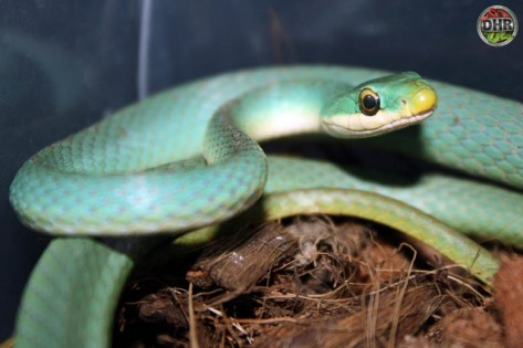 Rough Green Snake (Opheodrys aestivus)