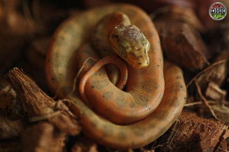 2020 Amazon Tree Boas are here!