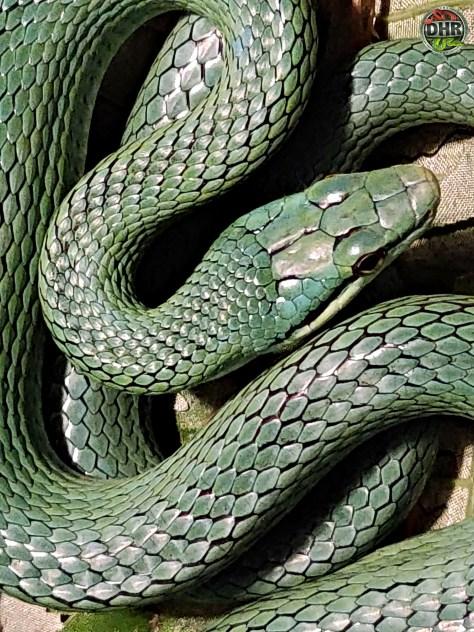 Rein Snake Anyone?