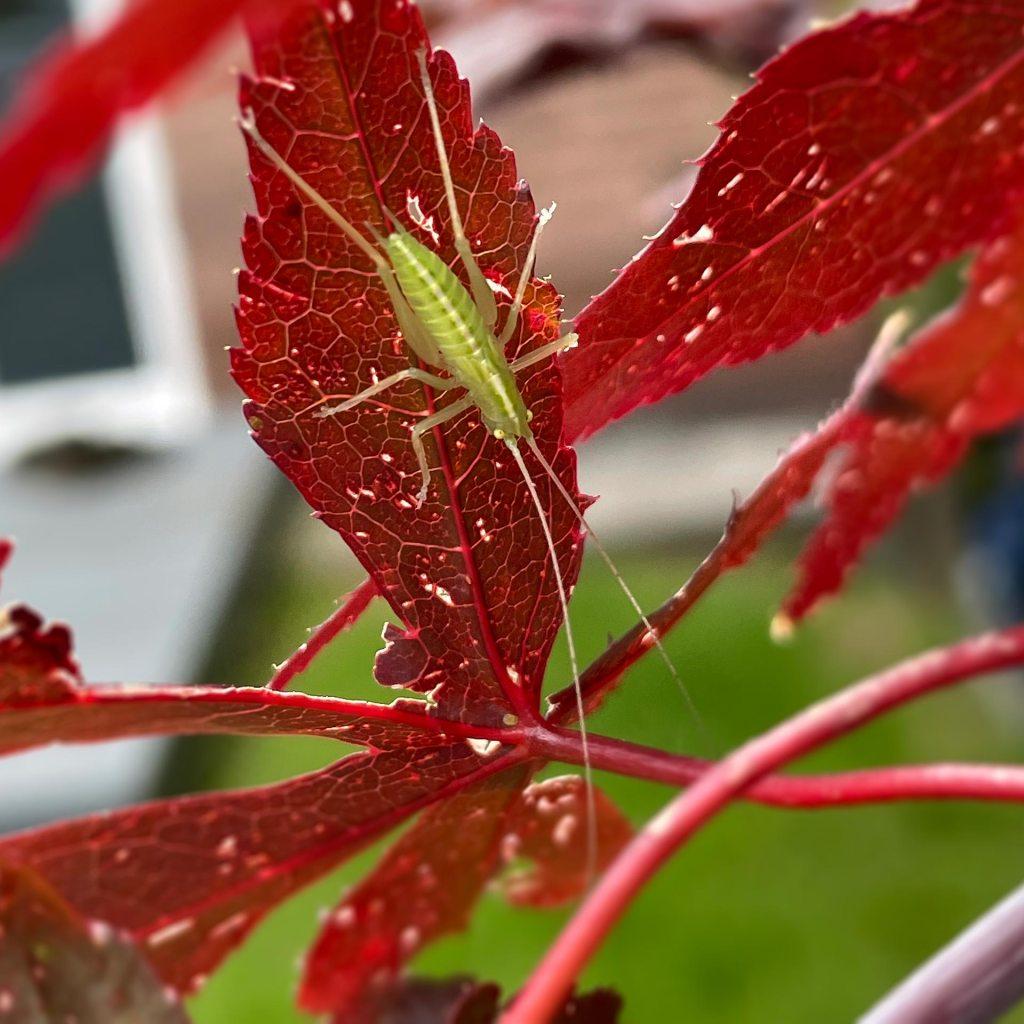 Green bug on scarlet leaf one