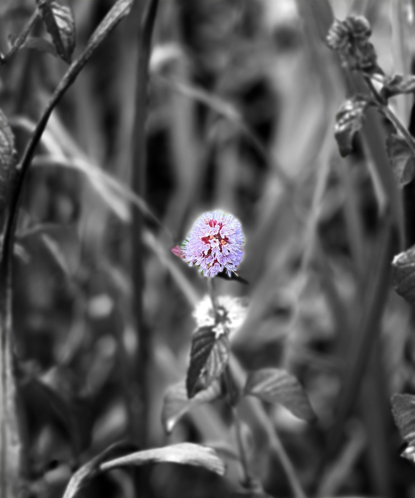 coloured flower on a black and white grass background