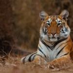 Tigress by Anuroop Krishnan