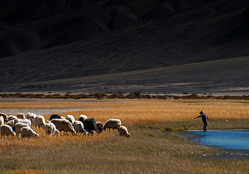 changthang nomads photography-21