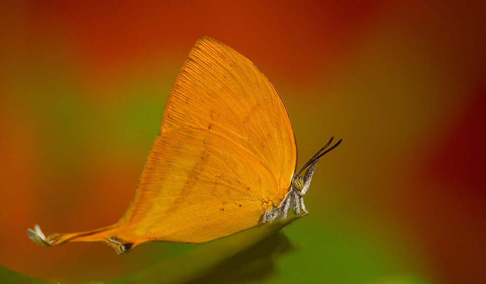 Andaman-Butterfly