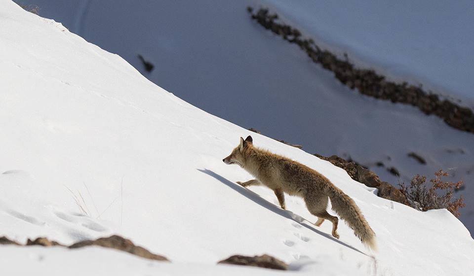 Snow-Leopard-18