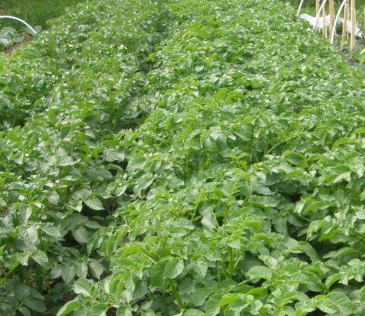 bulviu auginimas