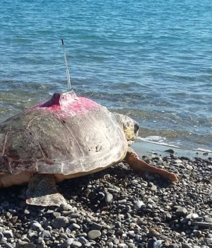 Caretta caretta con satellitare